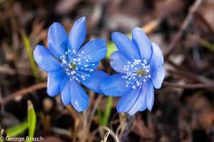 Hepatica nobilis – Leberblümchen (Rannuculaceae)