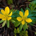 Eranthis hiemalis – Winterlinge (Rannuculaceae)