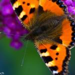 Schmetterlin BuddlajaDSC_0015 !!!-1